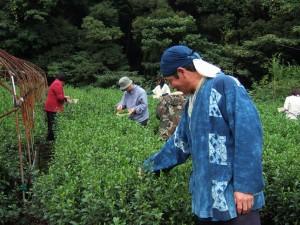 2010茶摘5