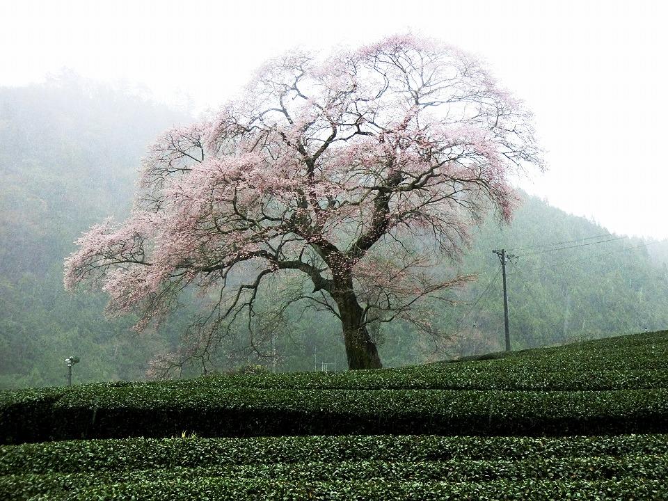 川根みずめ桜