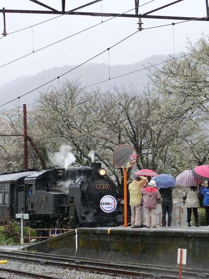 川根家山桜とSL