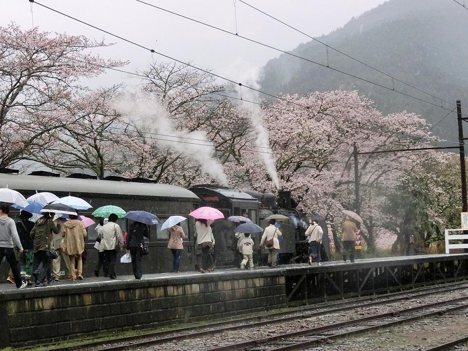 家山桜&SL 2