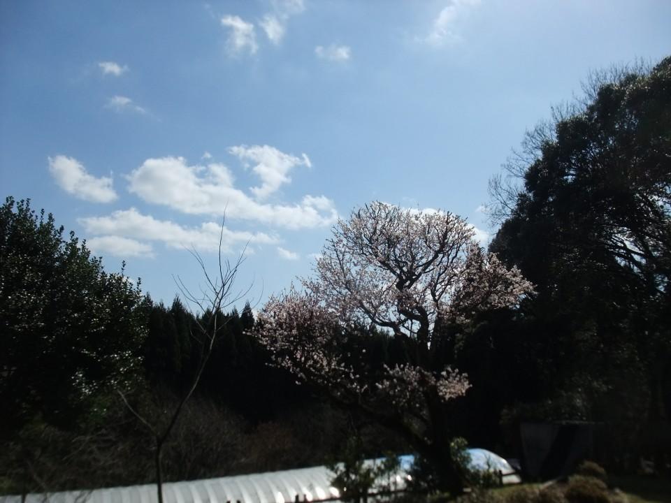 このきれいな桜の向こう側には、なんと特攻隊の基地があったとか(知覧だけではないのです)敷地内に慰霊碑もあります。合掌